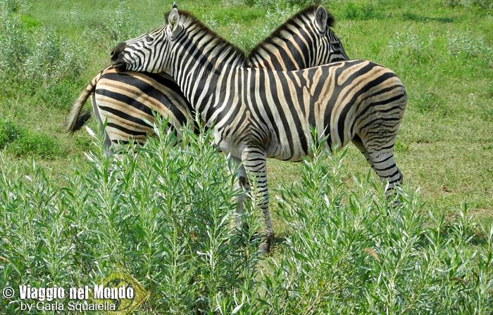 Kruger National Park - Zebre