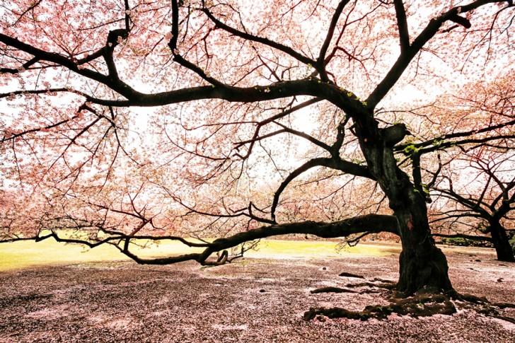 Giappone, ciliegio in fiore