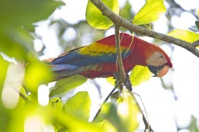 Costa Rica, Pappagallo Ara M