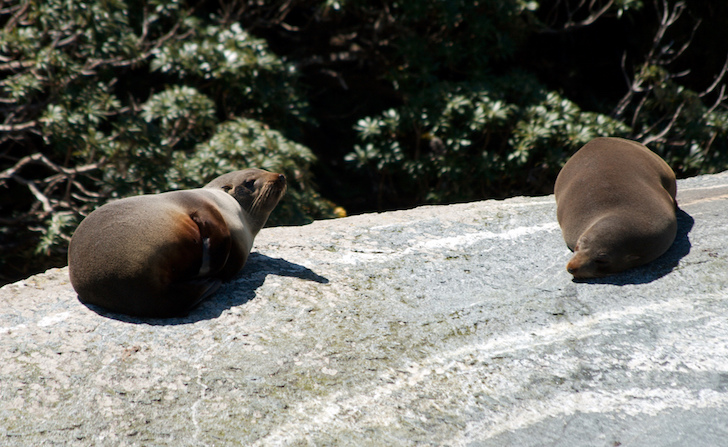 Foche a Milford Sound, Nuova Zelanda