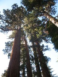 Yosemite, sequoie giganti