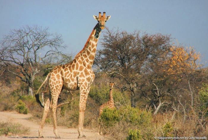Namibia, Waterberg - giraffe