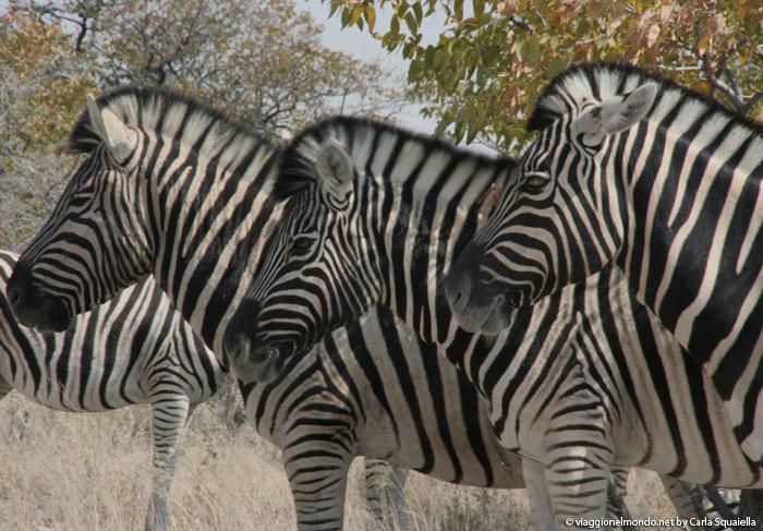 Namibia, Etosha - Zebre di Burchell