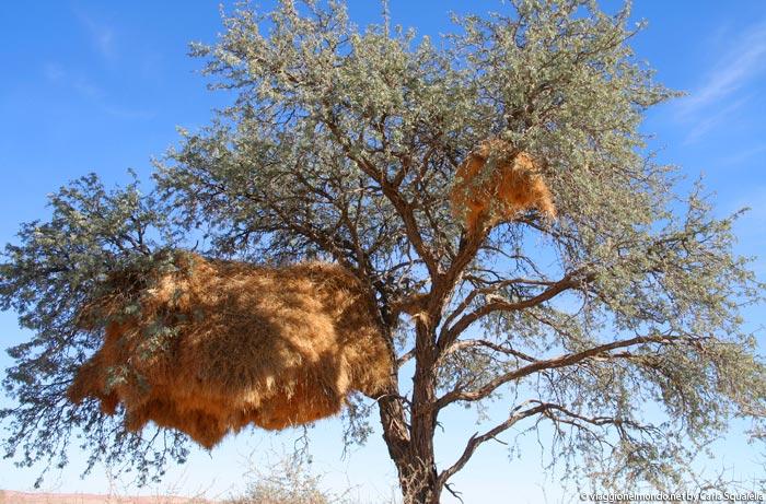 fauna Namibia - nido uccelli tessitori