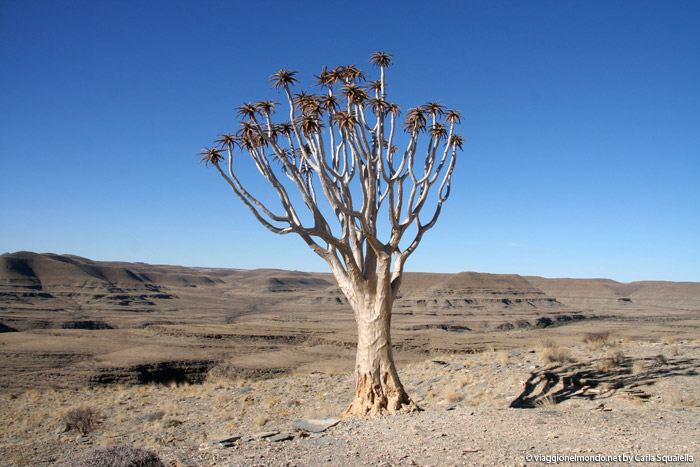 Namibia - Aloe Dichotoma
