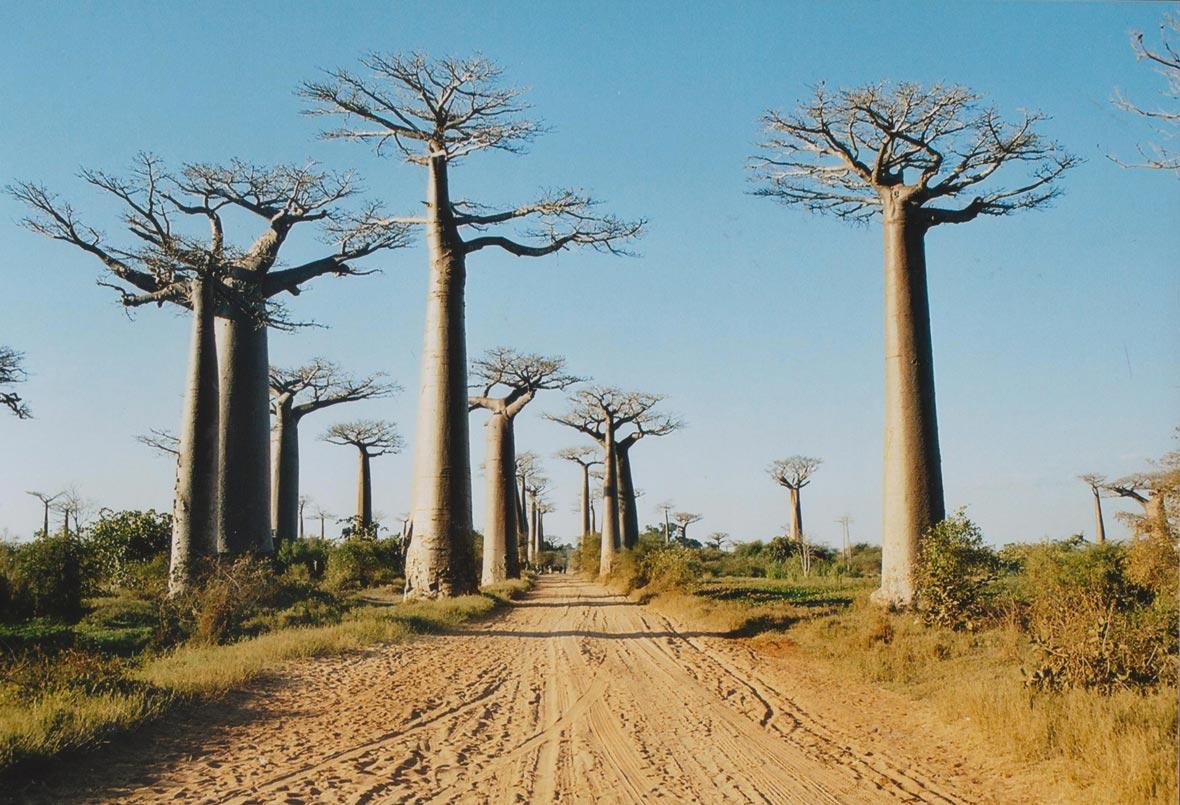 Viale dei Baobab