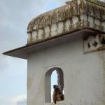 Scimmietta a Pushkar