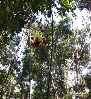 Orangutan - Tanjung Puting