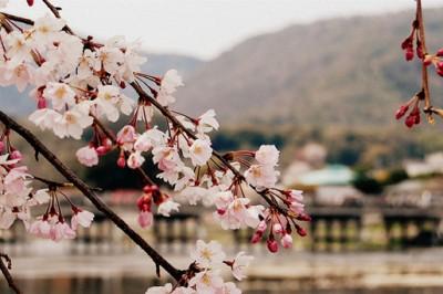 Giappone a primavera: l'Hanami, la fioritura dei ciliegi