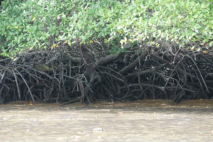 mangrovie Jambelì, Ecuador
