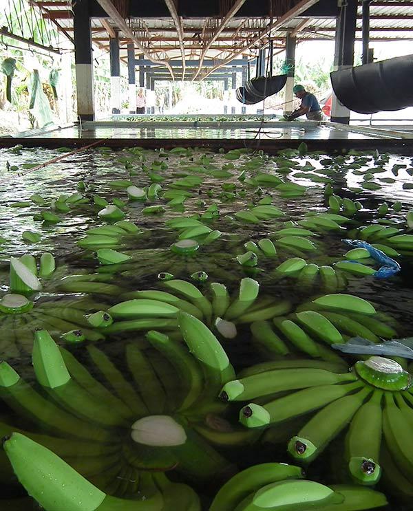 Ecuador, piantagione banane