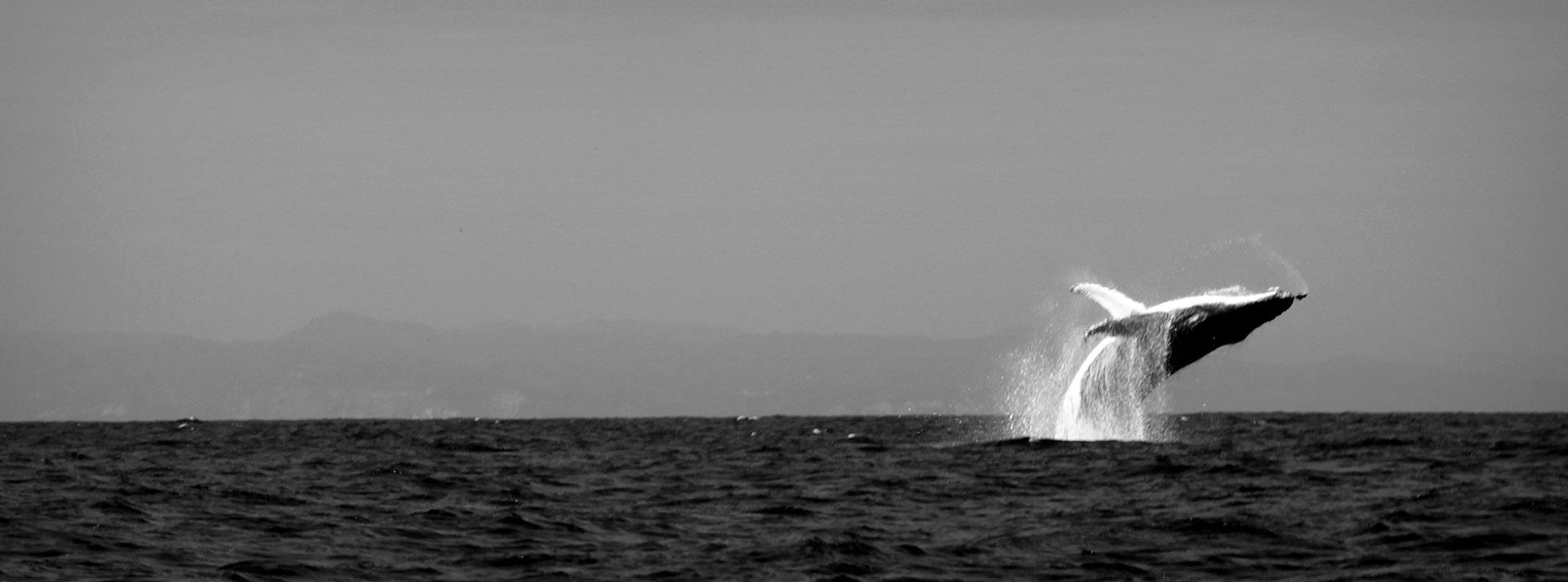 Balena a Puerto Lopez, Ecuador