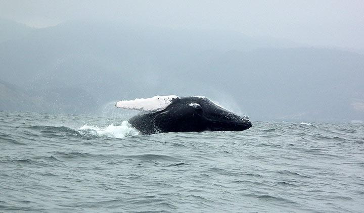 Balena a Puerto Lopez