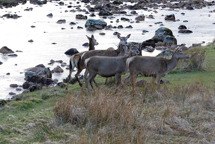 Cervi delle Highlands