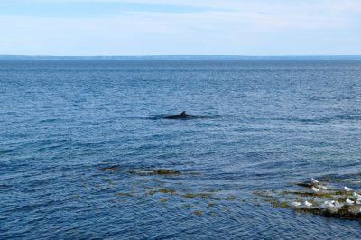 Cetacei nel golfo del San Lorenzo, Canada