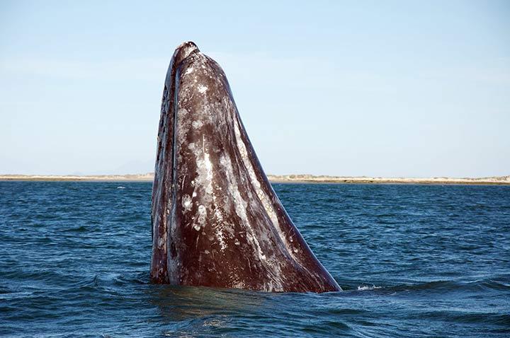 Baja California, balena grigia