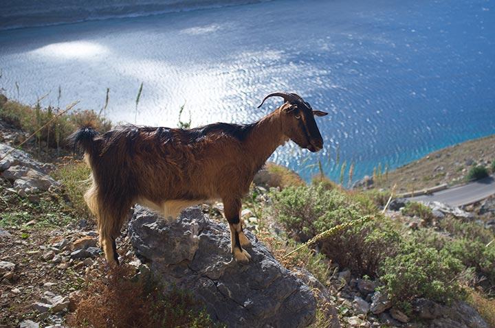 Capra a Kalymnos